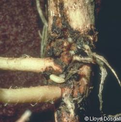 anthomyiidae mouches du chou de l 39 oignon. Black Bedroom Furniture Sets. Home Design Ideas