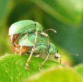 les insectes de nos jardins charan ons weevils. Black Bedroom Furniture Sets. Home Design Ideas