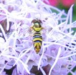 Les insectes de nos jardins mouches for Brulots de jardin