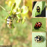 Famille Coccinellidae: Coccinelles