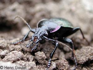 Les insectes de nos jardins carabes ground beetles - Insectes nuisibles du jardin ...