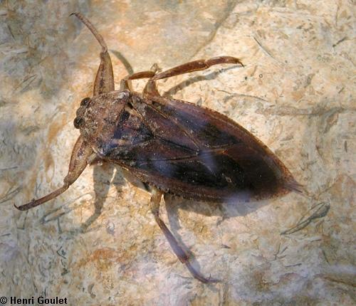 les insectes de nos jardins l thoc res punaises d 39 eau g antes. Black Bedroom Furniture Sets. Home Design Ideas