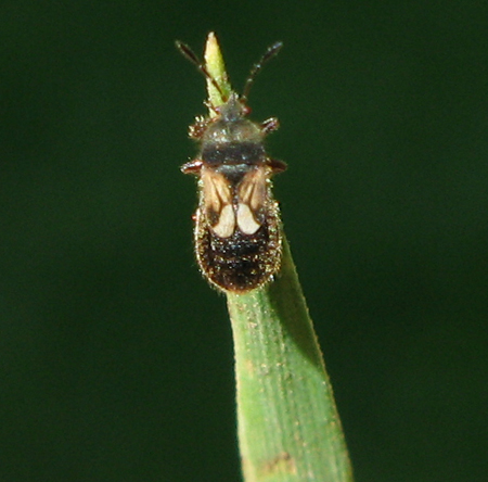 Les insectes de nos jardins punaises velues chinch bugs - Punaise pour accrocher ...