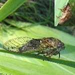 Famille Cicadidae: Cigales