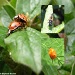 Famille Cocinellidae: Coccinelles